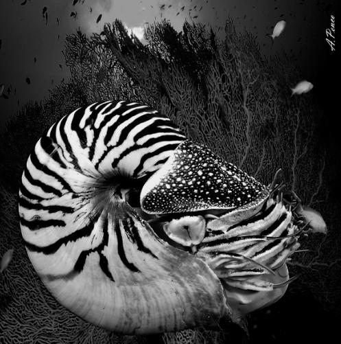 Nautilus e gorgonie ( Indo Pacifico Micronesia )