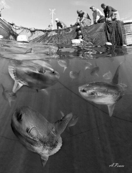 Pesci Luna all'interno della Tonnarella di Camogli in attesa di essere liberati.